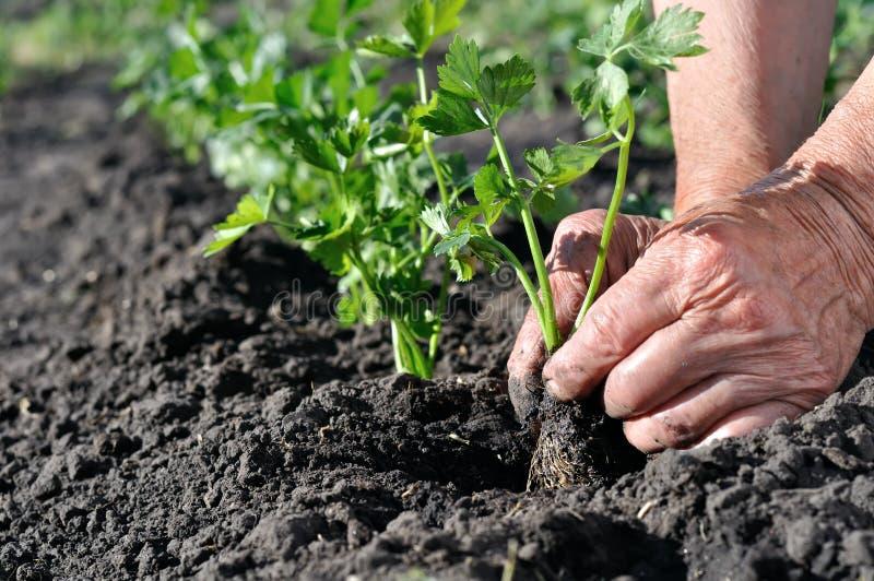 Landbouwers` s handen die een selderiezaailing planten royalty-vrije stock afbeelding