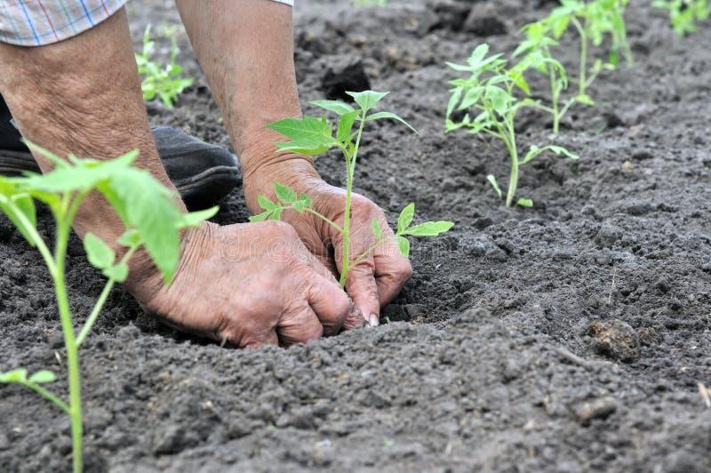 Landbouwers` s handen die een tomatenzaailing planten stock foto's