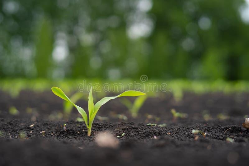 Landbouwersgebied met klein jong spruitengraan royalty-vrije stock fotografie