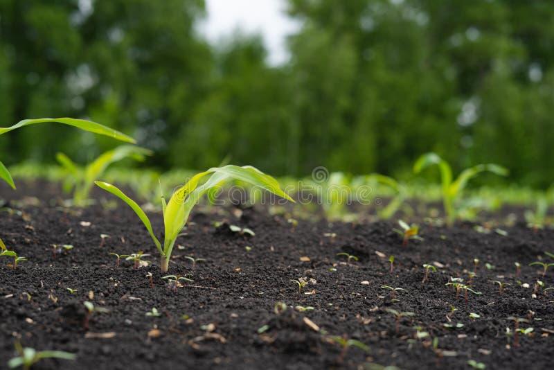 Landbouwersgebied met klein jong spruitengraan stock foto