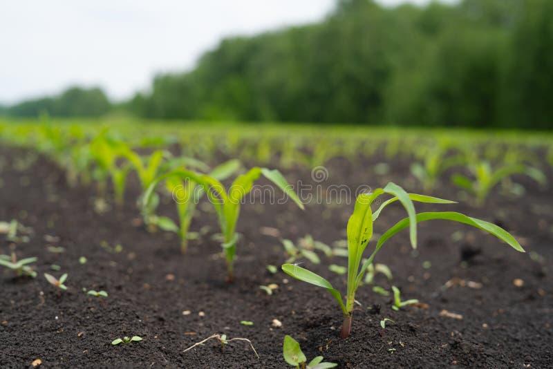Landbouwersgebied met klein jong spruitengraan royalty-vrije stock foto's