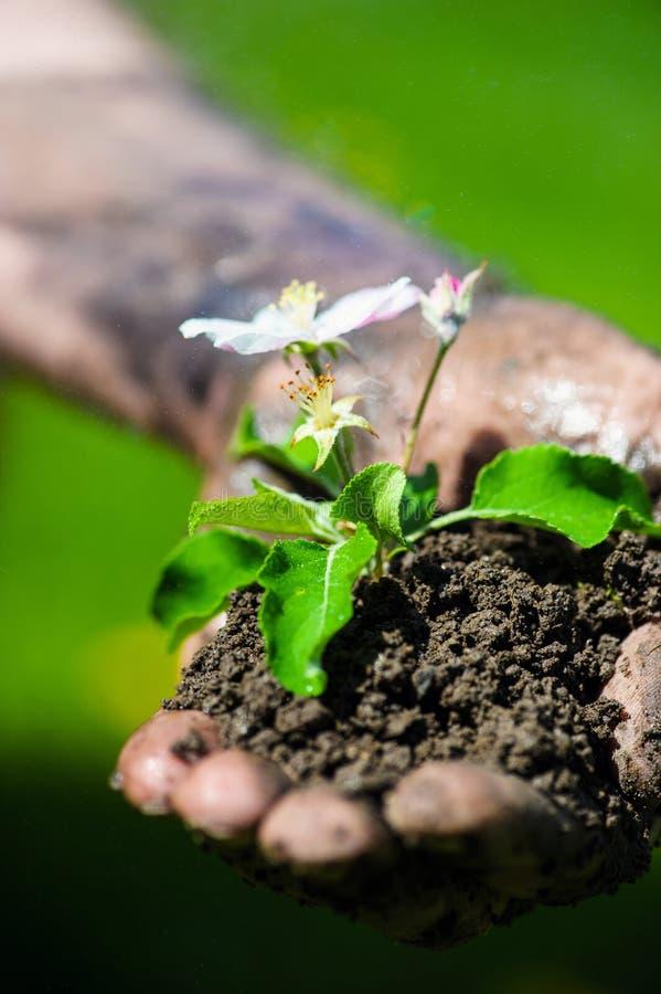 Landbouwershand die een verse jonge plant met bloem houden Symbool van het nieuwe leven en milieubehoud stock foto's