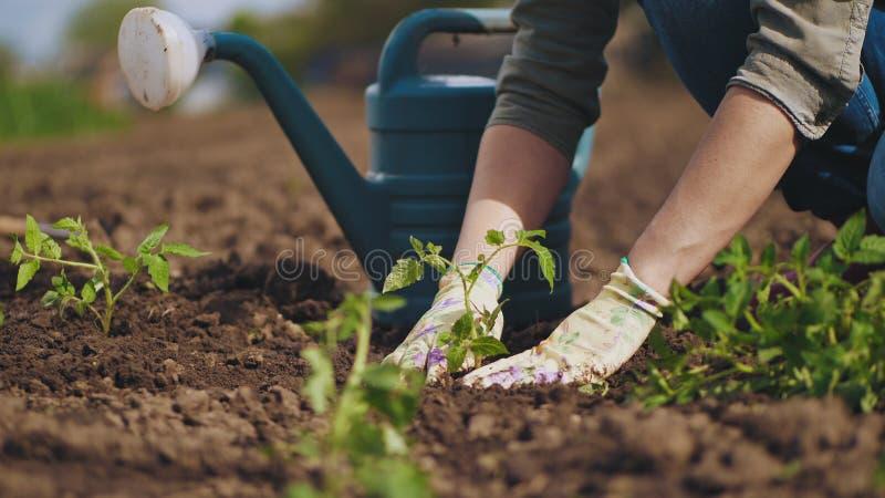 Landbouwershanden die aan de zaailing van de grondtomaat planten stock afbeeldingen