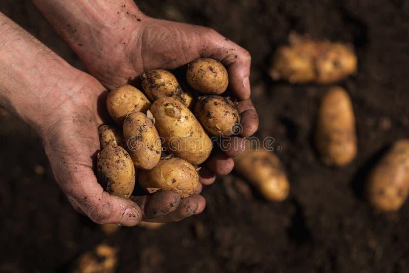 Landbouwershanden die aardappels houden stock fotografie