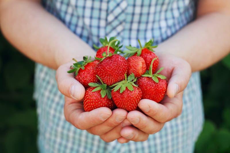 Landbouwershanden die organische rijpe aardbei houden stock foto's