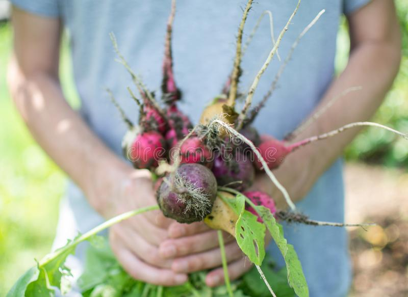 Landbouwershanden met een verse organische radijs royalty-vrije stock fotografie
