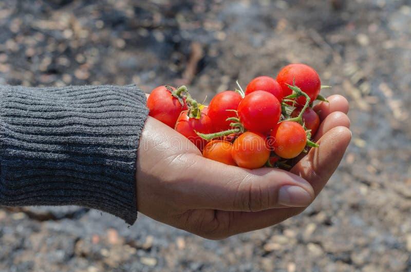 Landbouwershanden met vers tomaten stock fotografie