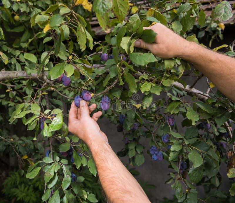 Landbouwersmens die blauwe pruimen plukken stock fotografie