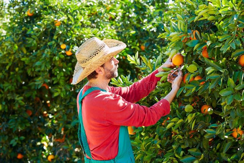 Landbouwersmens het oogsten sinaasappelen in een oranje boom stock afbeelding