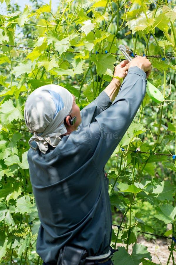 Landbouwerswijnhandelaar die een installatiedruiven op de druivengebieden waarnemen stock afbeeldingen