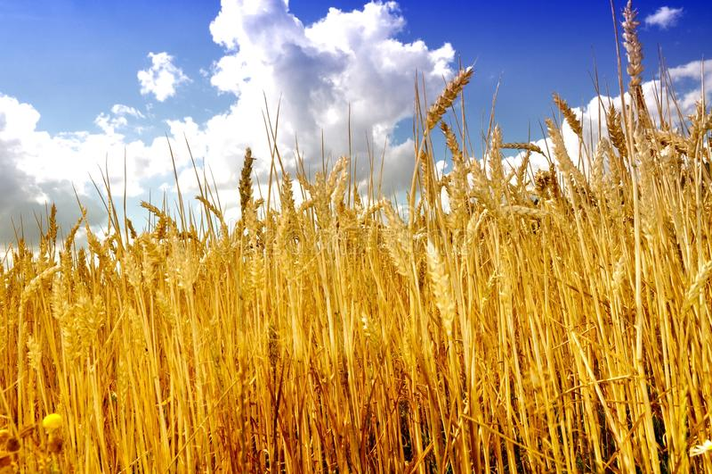 Landbouwgebied met blauwe hemel, rijp graan en bebouwde tarwe stock foto's