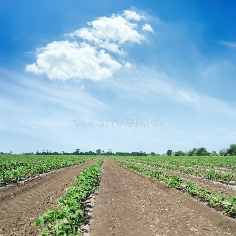landbouwgebied met groene spruiten van tomaten en blauwe hemel met wolken stock afbeelding