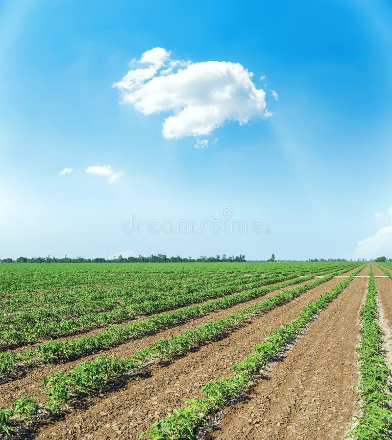 landbouwgebied met groene spruiten van tomaten en blauwe hemel met wolken stock afbeeldingen