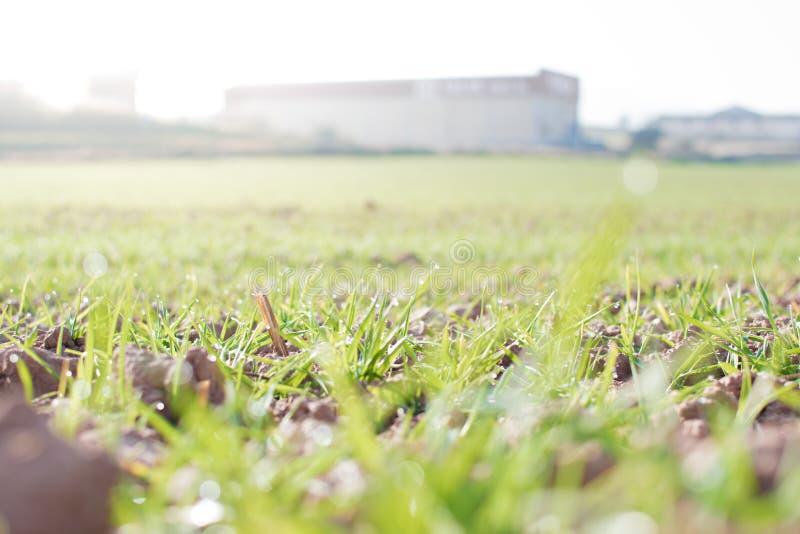 Landbouwgrond en de industrieënachtergrond Spruiten van tarwe bij gewassen royalty-vrije stock foto's