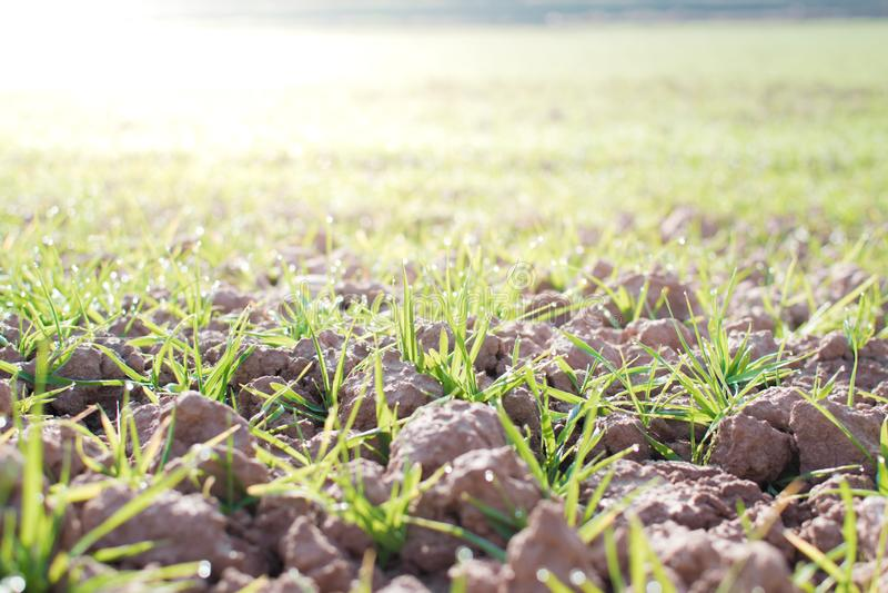 Landbouwgrond en de industrieënachtergrond Spruiten van tarwe bij gewassen stock afbeelding