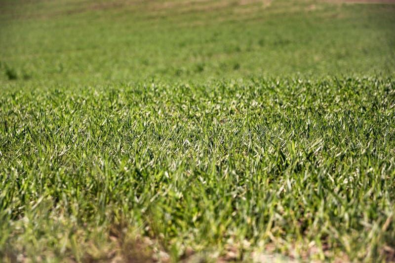 Landbouwgrond en de industrie?nachtergrond Spruiten van tarwe bij gewassen stock afbeelding