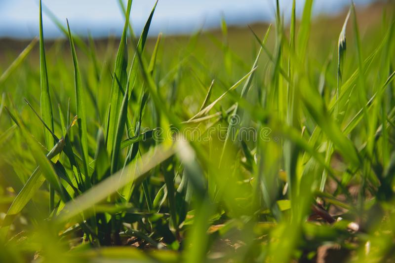 Landbouwgrond en de industrie?nachtergrond Spruiten van tarwe bij gewassen stock foto's