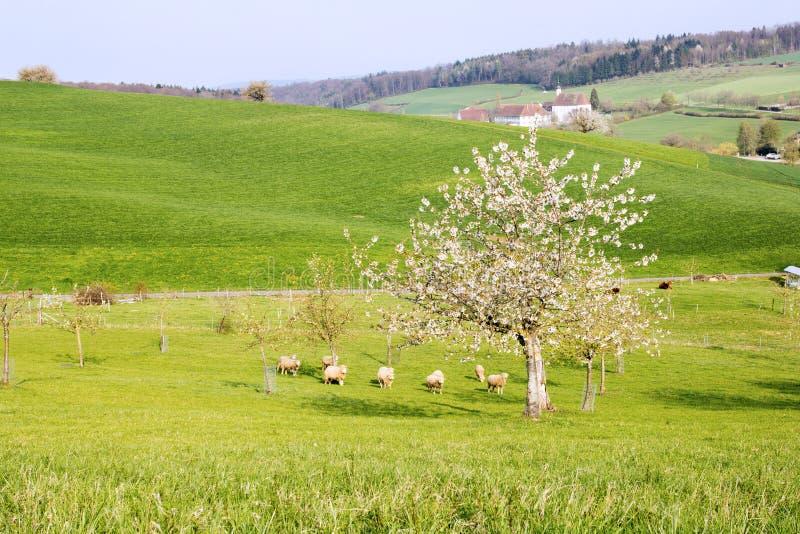 Landbouwgrond met schapen onder boom van de theh de bloeiende kers royalty-vrije stock fotografie