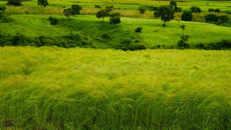 Landbouwlandschap met gebieden van teff, ochtend in Ethiopië stock foto