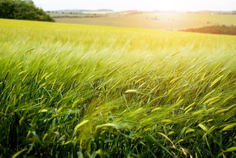 Landbouwtarwegebieden De zomertijd in een aard Achtergronden: zon licht Groene gebieden en winderig weer Landelijke scène stock foto's