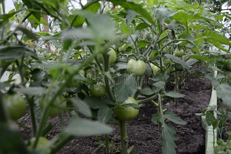 Landbouwtomatenlandbouwbedrijf in een moderne serre met groene tomaten stock foto