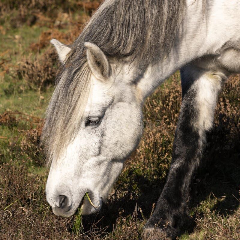 Lande principale de cheval blanc photographie stock