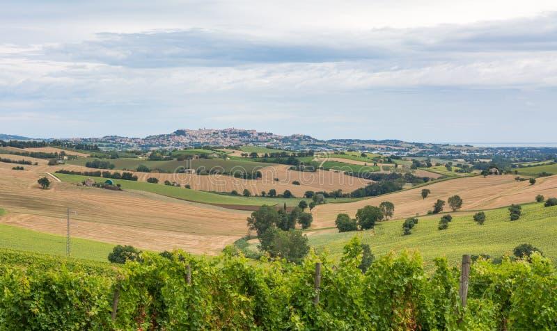 Landelijk de zomerlandschap met zonnebloemgebieden, wijngaarden en olijfgebieden dichtbij Porto Recanati in het gebied van Marche stock afbeelding