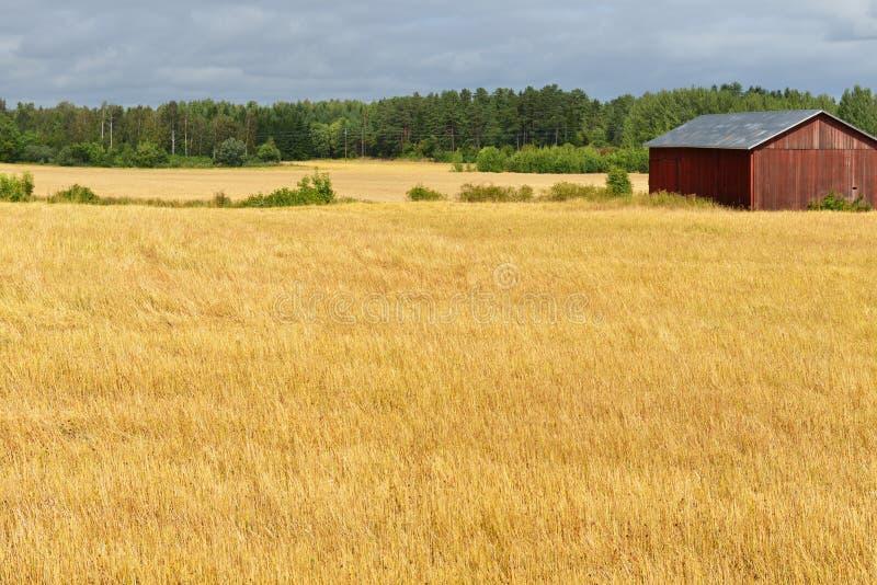 Landelijk landschap Gouden gebieden stock afbeeldingen