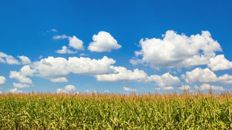Landelijk landschap - graangebied op zonnige de zomerdag stock foto's