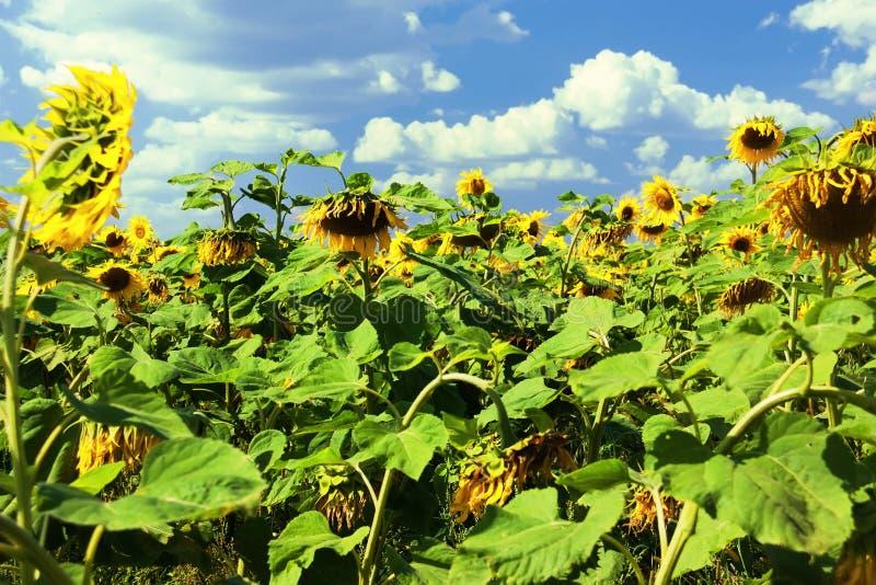 Landelijk landschap Het gebied van de zonnebloem op een zonnige de zomerdag Helianthusannuus, de gemeenschappelijke zonnebloem stock foto's