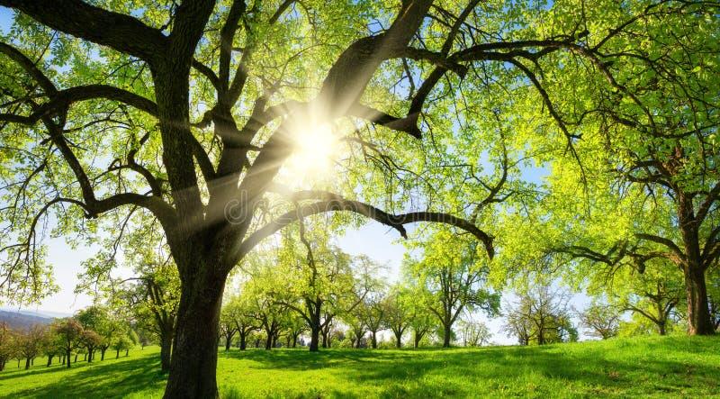 Landelijk landschap met bomen op een groene weide royalty-vrije stock afbeeldingen