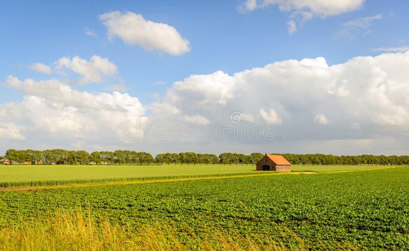Landelijk landschap met cultuur van suikerbieten en tarwe en binnen royalty-vrije stock foto