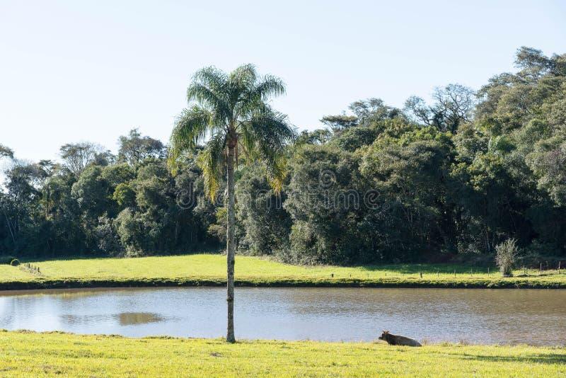 Landelijk landschap met meer, koe en palm 02 royalty-vrije stock foto