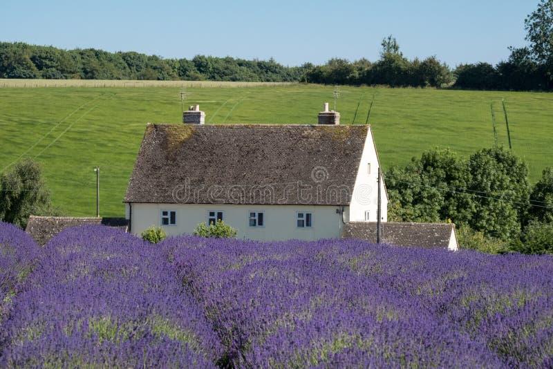 Landelijk landschap met wit huis die lavendelgebieden op een bloemlandbouwbedrijf overzien in Cotswolds Groene heuvel erachter stock foto's