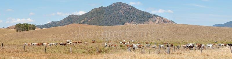 Landelijk van het het panoramalandschap van Australië het veeland royalty-vrije stock afbeelding