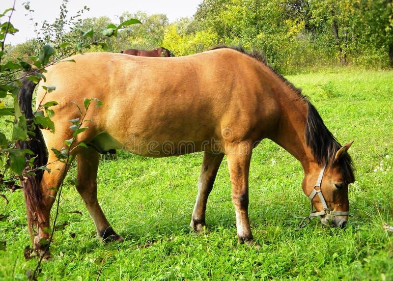 Landelijke idylle: Paardweide royalty-vrije stock foto