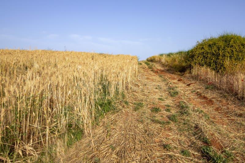 Landelijke weg die tussen groene struiken en een gebied van rijpe tarwe overgaan royalty-vrije stock fotografie