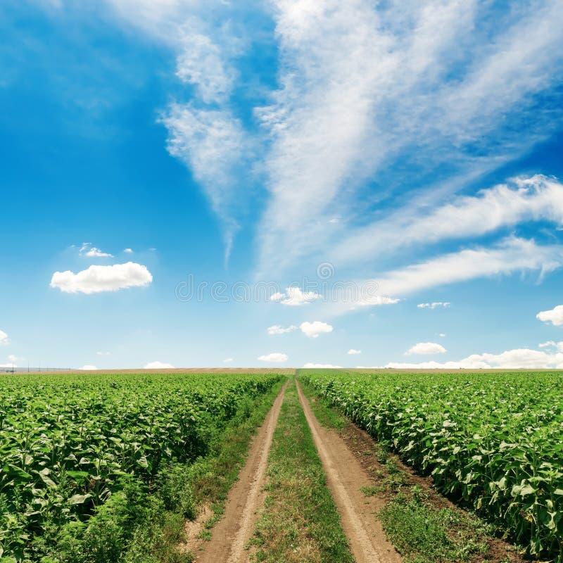 Landelijke weg op gebied met zonnebloemen onder blauwe hemel royalty-vrije stock fotografie