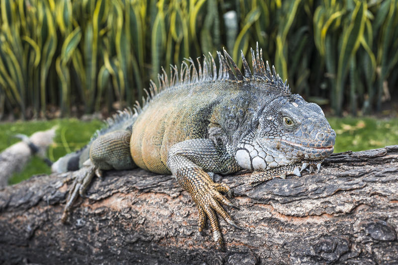 Landen Sie Leguan in Bolivar-Park, Guayaquil, Ecuador lizenzfreie stockfotografie