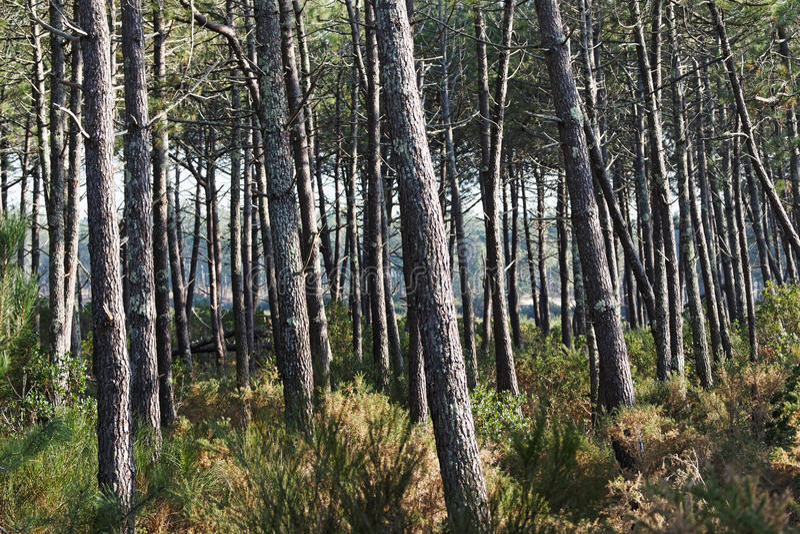 Landes lasowi zdjęcie stock