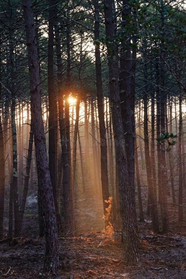 Landes lasowi w zima sezonie fotografia royalty free