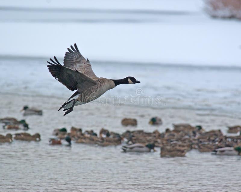 Download Landing stock photo. Image of wildlife, hunt, goose, bird - 12105168
