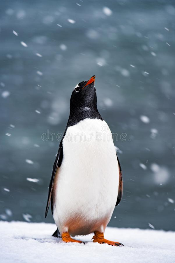 The penguins in the snow,Antarctic. In a landing in the Antarctic, I saw this lovely little fellow. When the snow did not get up, it looked sluggish. And when stock images