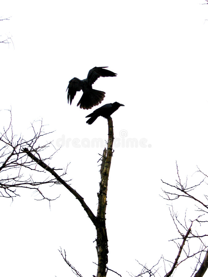 Landing bird. A crow tries to land on the tip of a tree while being caught by the camera at the right time stock photography