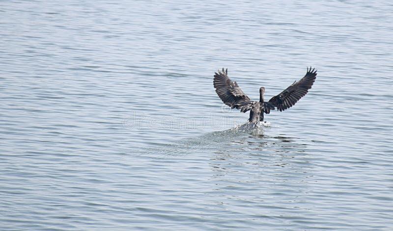 Landing bird in back waters royalty free stock photos