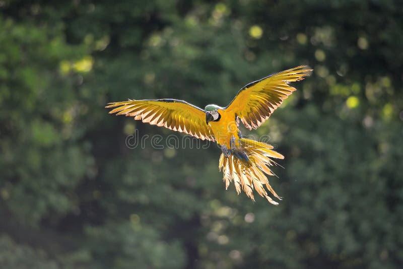 Landing blue-and-yellow Macaw - Ara ararauna in backlight. Front view on landing blue-and-yellow Macaw - Ara ararauna with green background in backlight stock photo