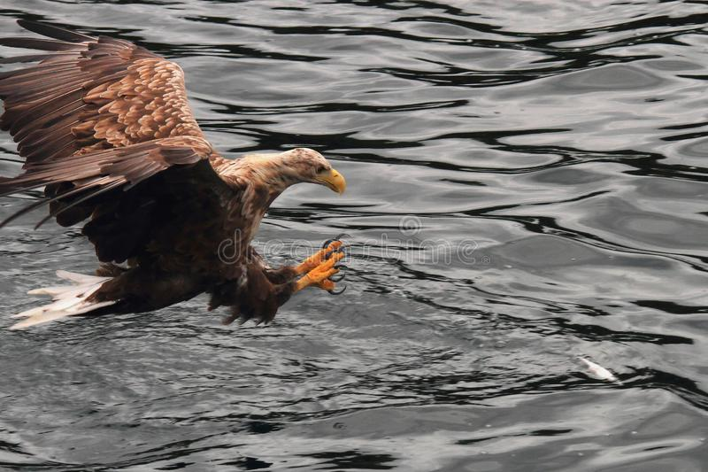Landing claws out for grabbing. Sea eagle landing with claws out on a prey , Lofoten islands, arctic archipelago situated in northern Norway royalty free stock photos