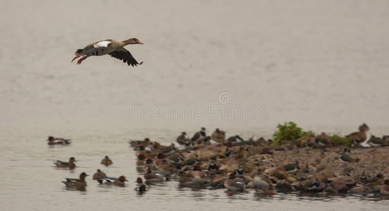 Download Landing Egyptian Goose stock image. Image of flight, going - 28308525