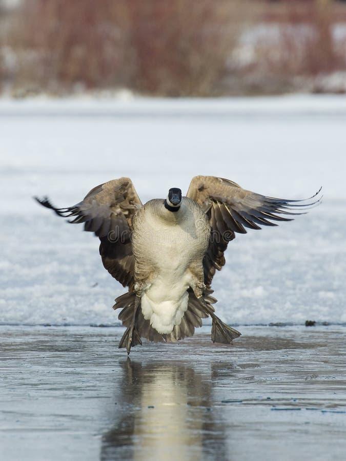Free Landing Goose Royalty Free Stock Photos - 24990208