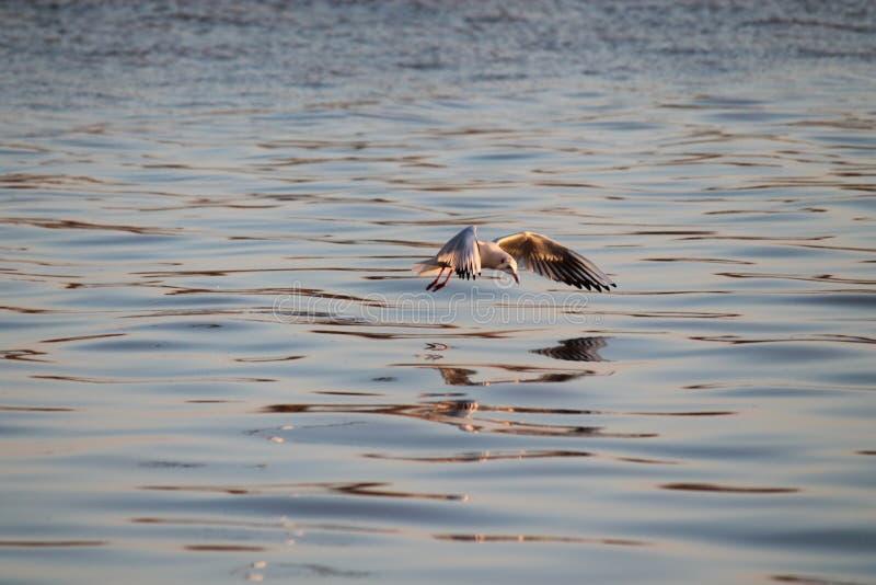 Landing gull royalty free stock images